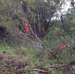 Gladiolus - unamed