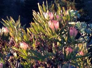 Protea nerifolia? - a very pale pink specimen - July 2013