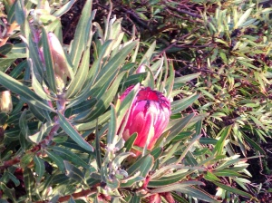 Protea Nerifolia - June 2013