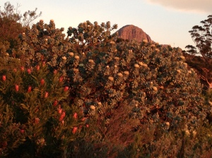 Protea nerifolia and Protea nitida in the evening light