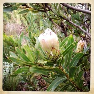 Protea (nerifolia?)