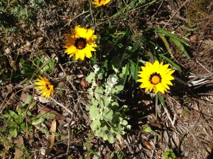 Gazania rigida; with Helichrysum growing alongside