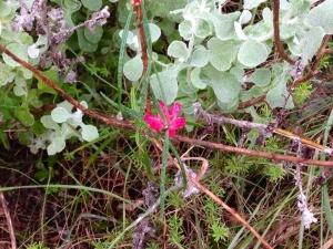 Microloma tenuifolia