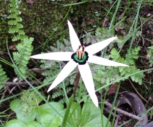 Spiloxene capensis, the Cape Star