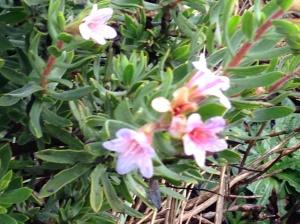 Lobostemun fruticosus
