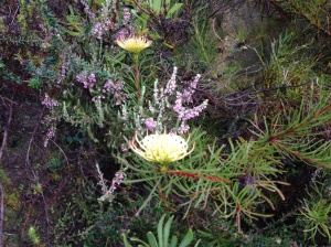 Leucospermum - the pincushion flower