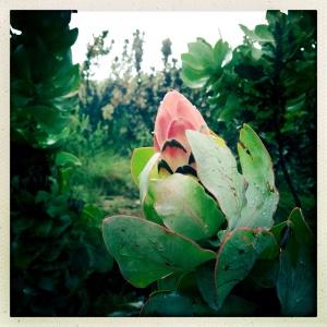 Protea speciosa-esque?