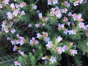 Lobostemon fruticosus
