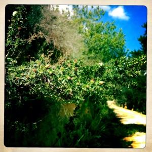 Cliffortia ruscifolia