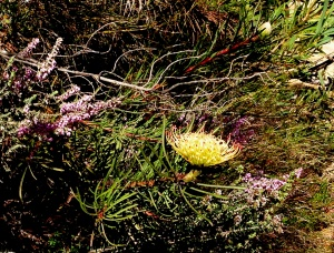Leucospermum lineare