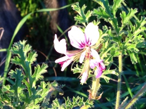 Pelargonium - subspecies unknown