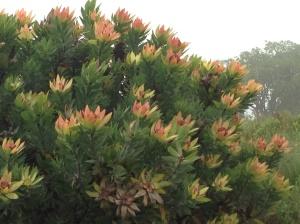 The magnificent Leucadendron tinctum
