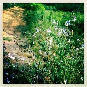 Salvia african-caerulea