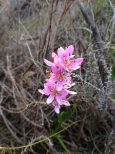 Wurmbea punctata - the Spike Lily