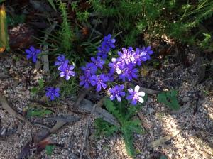 Blue flowering bulb