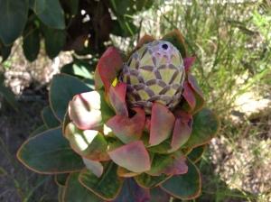 Protea flower in Bud