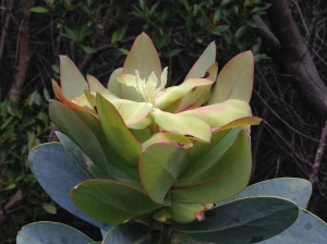 The new growth of Protea nitida