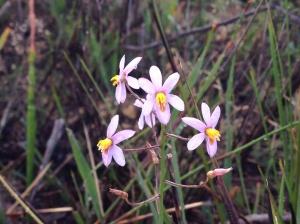 Cyanella hyacinthoides - Lady's hand