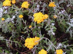 Helichrysum cymosum
