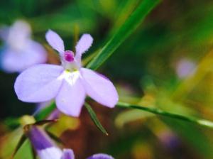 Lobelia pubescens