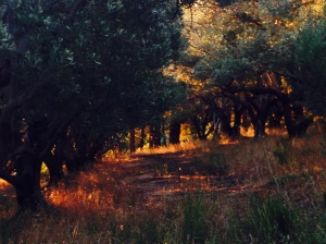 The evening light in the olive groves above the house