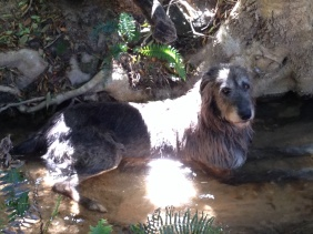 Seamus rests in the stream at the foot of the Ilex mitis