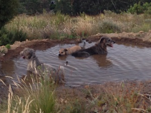 Two Irish Wolfhounds and Jemima Chew enjoy the cool water in Fox Pan