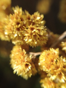 Helichrysum flowers - a different sub-species