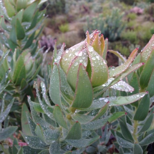 Protea with new growth.  We shall only be able to identify it once it flowers