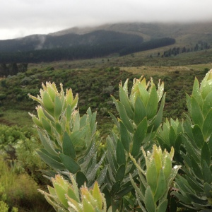 The lovely Protea Repens preparing for a spurt of growth and late summer flowers