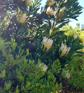Light shining through a large Protea repens sighted at the top of the olive groves