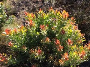 Leucadendron salignum?