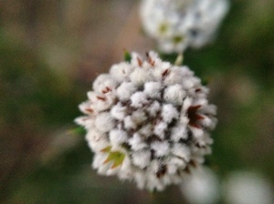 The same flower in close up - impossible to get a perfect shot in the howling wind