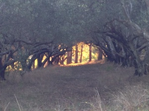 The evening light in the olive groves was stunning