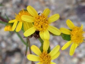 Osteospermum spinosum?