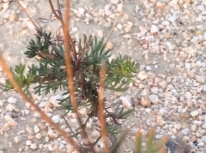It's a small shrub with little needly clustered leaves