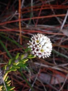 Phylica eriocoides