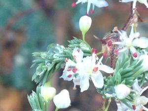 Asaparagus rubicundus