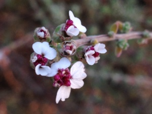 Eriocephalus africanus, wild african rosemary