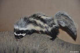 African Striped Polecat