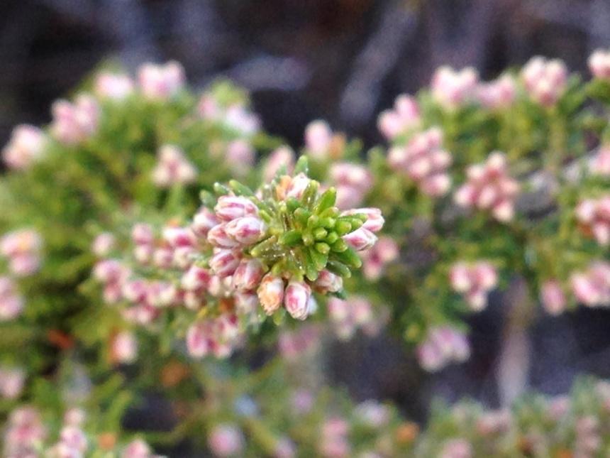 Unidentified fynbos shrub
