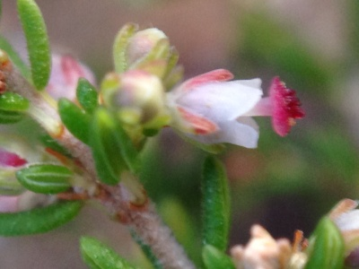 The tiny pink Erica flower
