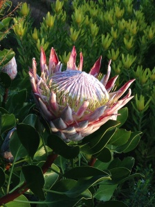 Protea cynaroides, The King Protea