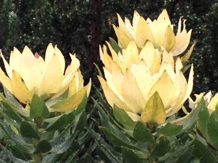 Leucadendron tinctum