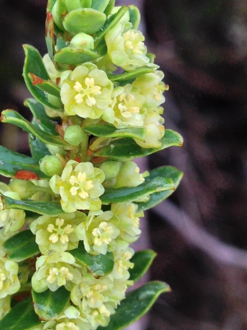 Philyca oleaefolia