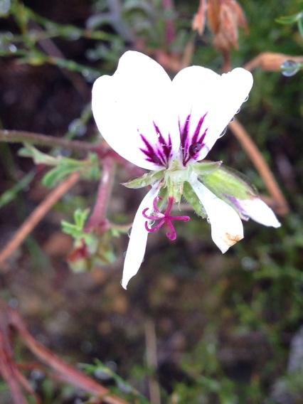 Pelargonium myrrhifolium varr. myrrhifolium