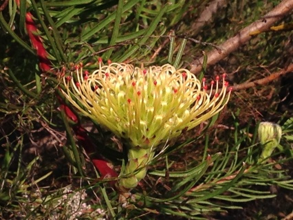 Leucospermum Lineare - The Vulnerable