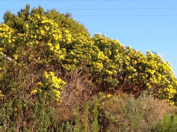 Massed tickberry shrubs growing wild on the mountain