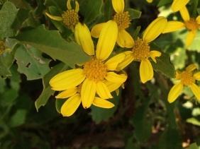 Osteospermum moniliferum