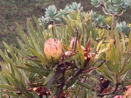 Protea burchellii